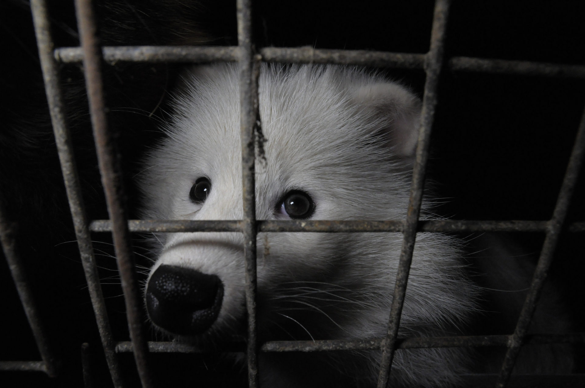 """fur farming the fur trade """"the current revival is a story of the fur trade responding to its critics and often  outmaneuvering them, combined with increased demand from."""
