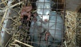 Fur Farming mink