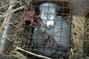 Fur Farming mink