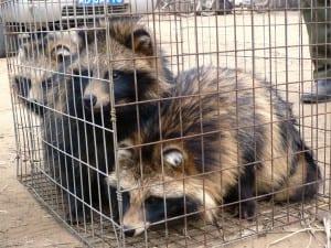 Caged raccoon dogs_gekregen van PETA