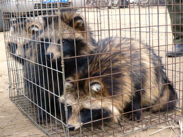 caged raccoon dogs