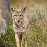 coyote+