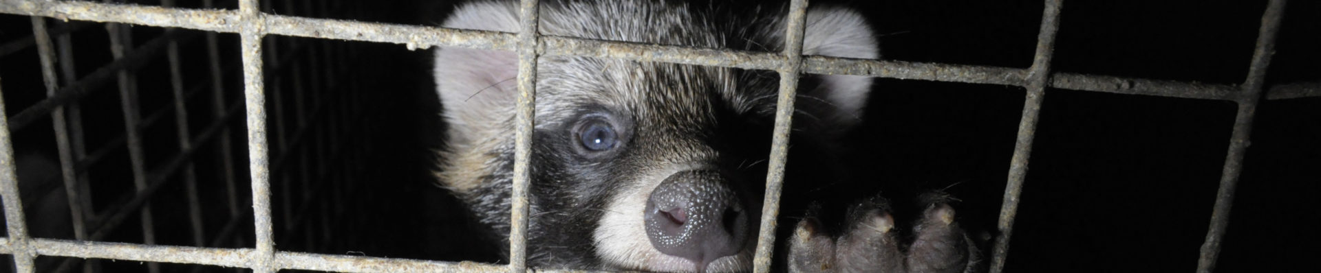Severe animal cruelty on Polish fur farms revealed