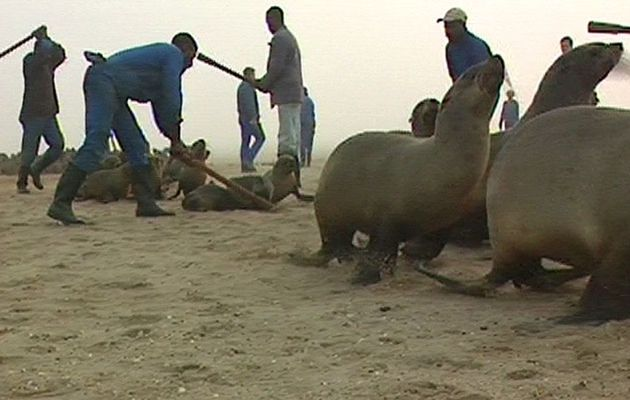 Seal hunt Namibia
