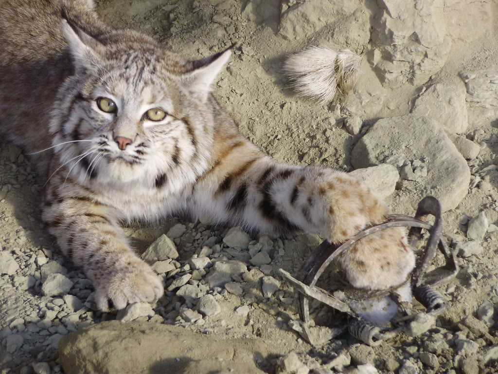 Bobcat Fun Facts for Kids