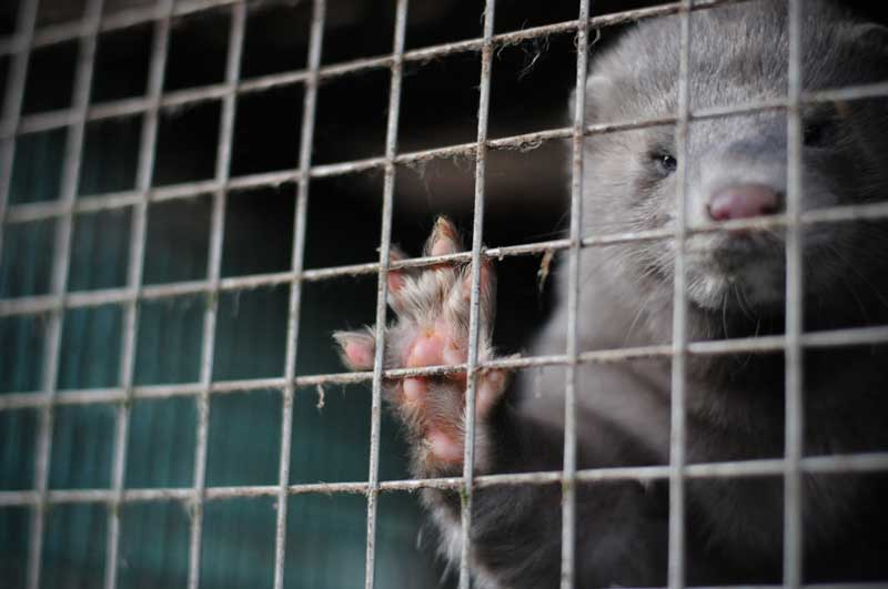 caged farm animals fur farming animal welfare problems