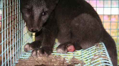 Saga Furs animal health and welfare problems