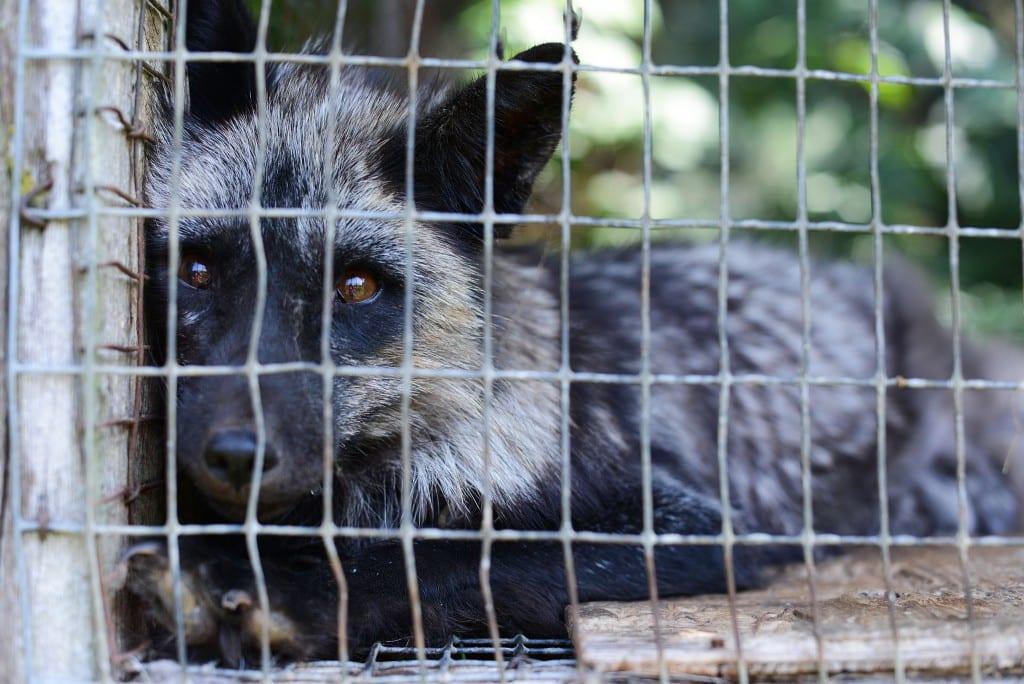 Fox farming in Canada ©Joanne McArthur/We Animals