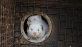 Animal welfare problems on Norwegian mink farms