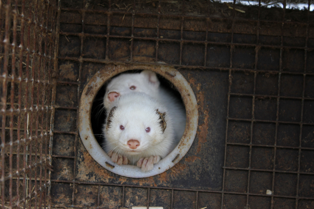 Animal welfare problems on Norwegian mink farms
