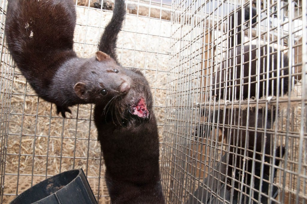 Animal welfare problems on Norwegian mink farm