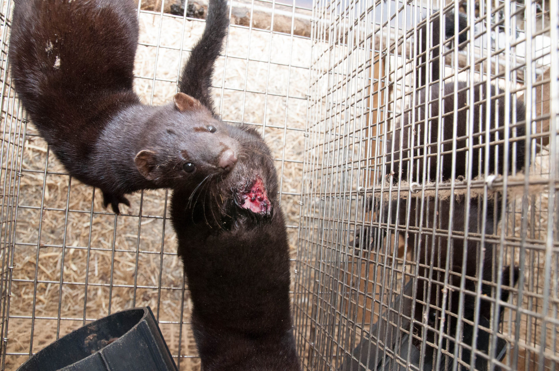 Animal welfare problems on Norwegian mink farm
