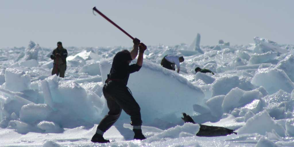 Seal hunt Canada