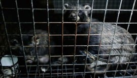 Raccoon dogs on a fur farm