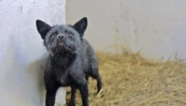 Ferdinand rescued fox