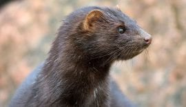 mink farming ban upheld