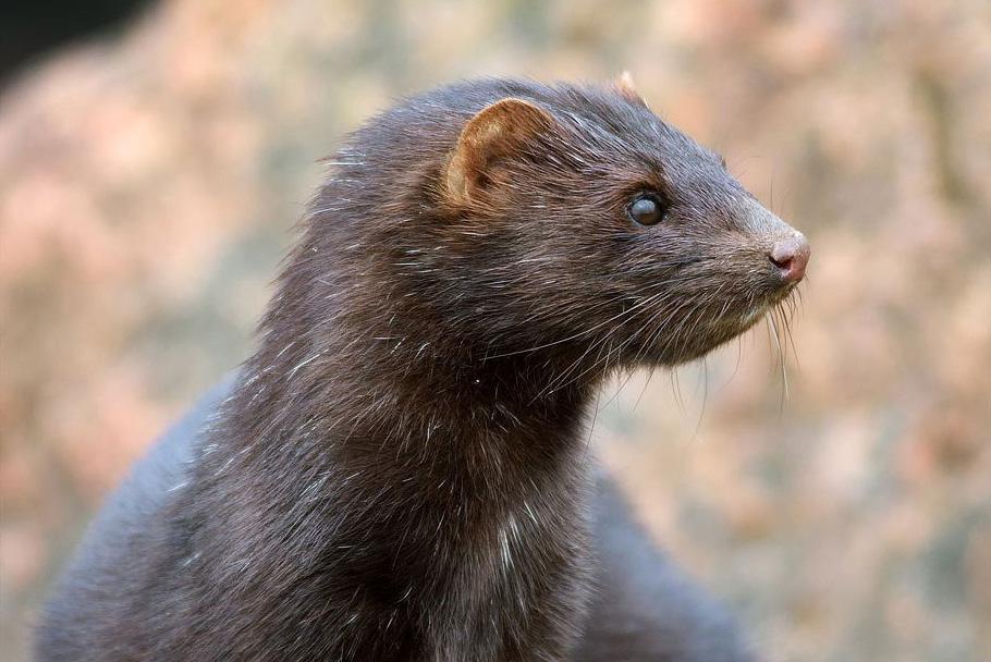 mink farming ban upheld