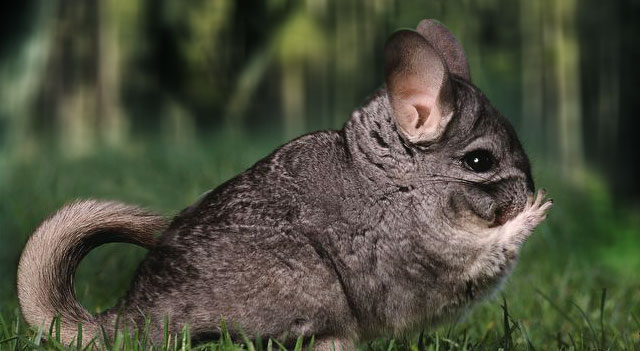 chinchilla-some-eating-picture-garden