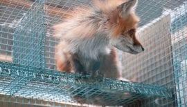 fur sales ban Berkely