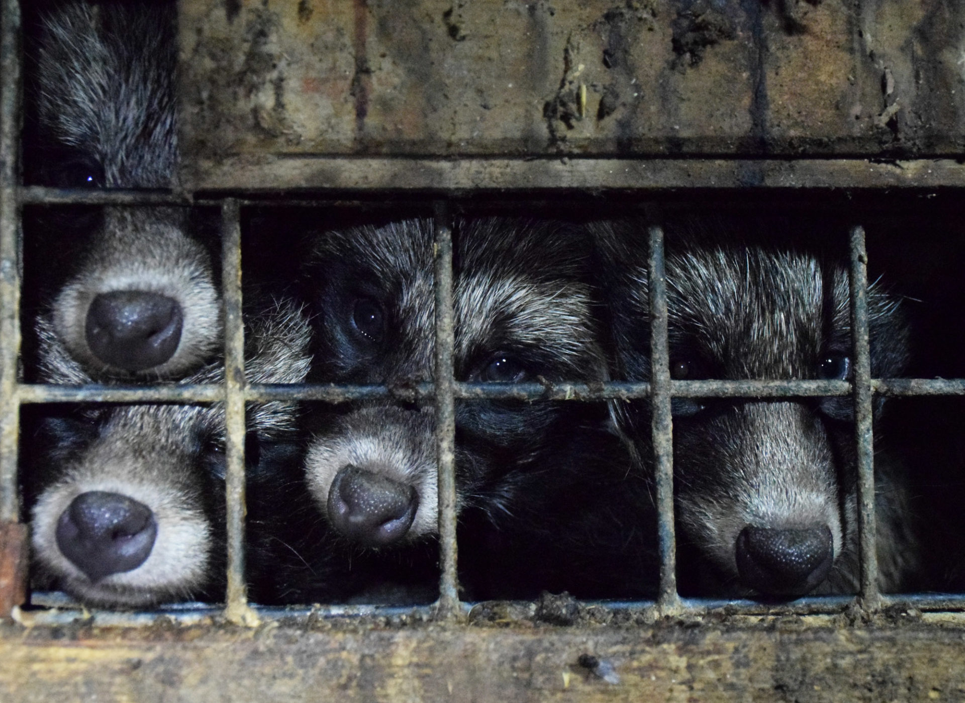 Raccoon dogs fur farm