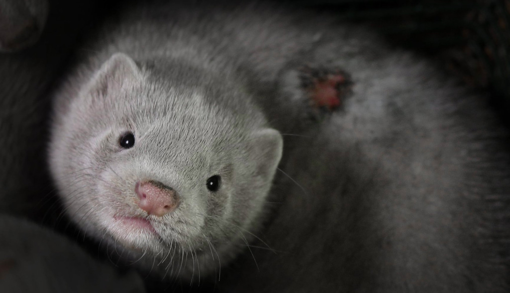 Horror Mink Fur Farm Exposed In Lithuania Fur Free Alliance