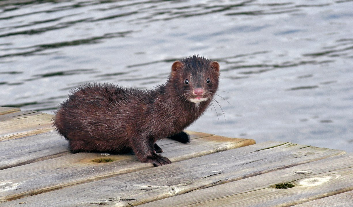 Dutch Mps Voted Overwhelmingly In Favour Of Shutting Down Mink Fur Farms In The Netherlands Fur Free Alliance